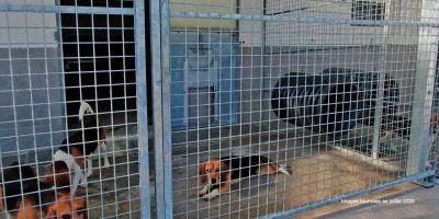 Los más de 200 perros en los que se prueban implantes dentales serán sacrificados