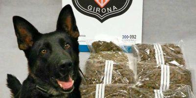 Dos perras de la Policía Local de Gerona buscansustancias prohibidas