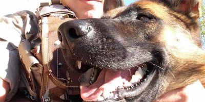 Adopciónk9: asociación de los Cuerpos de Seguridad  que busca familia a perros policía jubilados