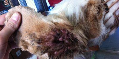 Mi perro tiene el tímpano perforado, ¿se quedará sordo?