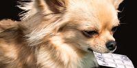 Chicles de nicotina y edulcorantes, principales venenos que comen los perros