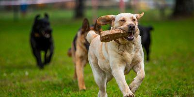 Perro sociable, corazón más fuerte