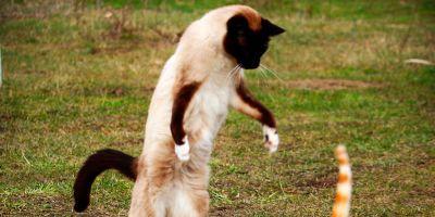 ¿Es cierto que se puede adiestrar a un gato?