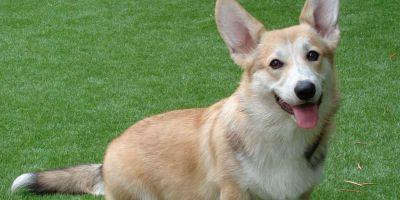 La raza: Pembroke, perro zorro