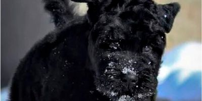 Terrier ruso, todoterreno