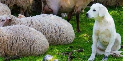 Akbash, el perro del que  se enamoran las ovejas