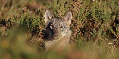 Un grupo de investigadores enseña  a varios lobos a no atacar al ganado