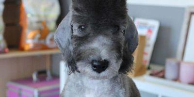 Bedlington, perro oveja