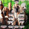 Irlanda: fábrica de cachorros ilegales